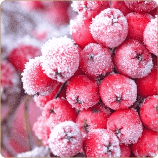 Red Frosty Fruit Aroma Dark Burner